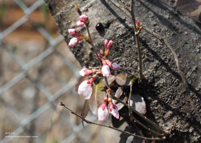 《いわき市桜情報2019》松ヶ岡公園のソメイヨシノ「蕾膨らむ」 [平成31年3月24日(日)更新]6