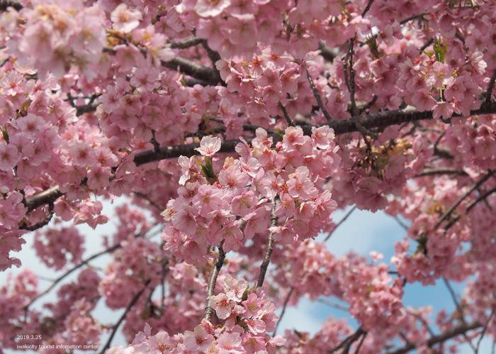 《いわき市桜情報2019》21世紀の森公園の河津桜が見頃を迎えています! [平成31年3月25日(月)更新]6