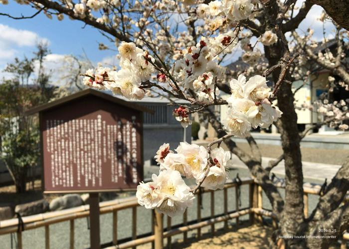 常勝院岩城寺の「八房の梅」が満開です! [平成31年3月25日(月)更新]6