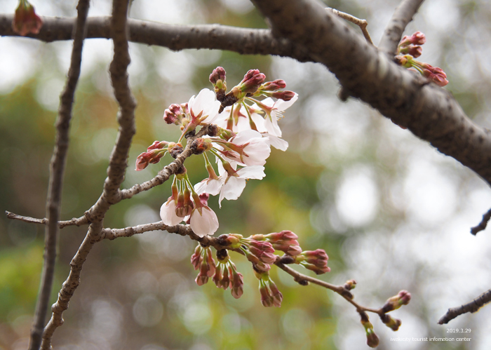 《いわき市桜情報2019》平中央公園&新川沿いのソメイヨシノが開花しました! [平成31年3月29日(金)更新]6