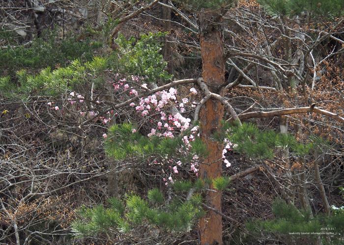 夏井川渓谷のアカヤシオが開花しました! [平成31年4月1日(月)更新]6