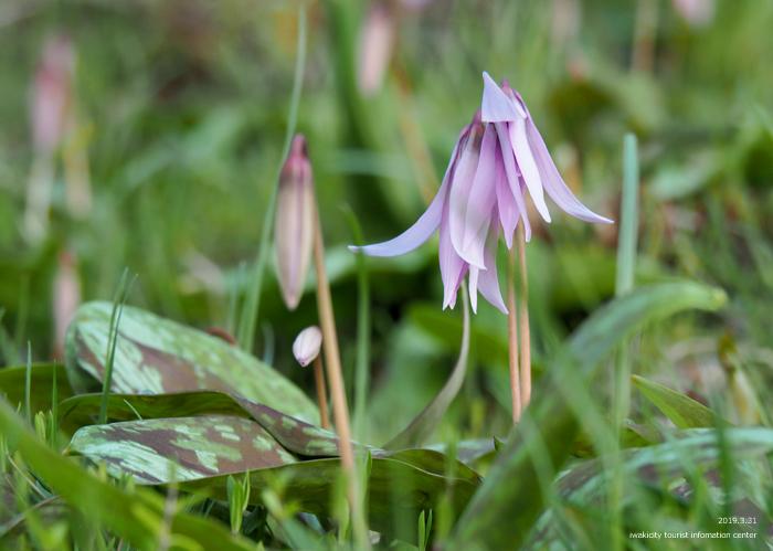 薄紫の可憐な花「カタクリ」が咲き始めました! [平成31年4月1日(月)更新]6