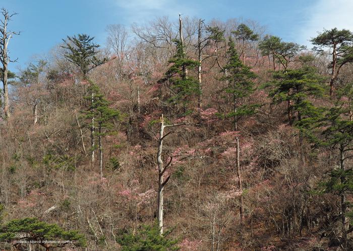 夏井川渓谷のアカヤシオ 春の陽射しを浴び見頃を迎えております! [平成31年4月6日(土)更新]6