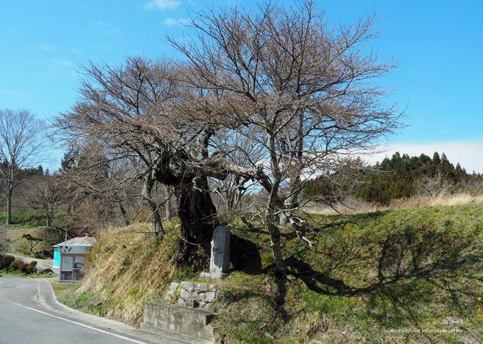 《いわき市桜情報2019》下三坂の種まきザクラが開花までもう間もなくです! [平成30年4月8日(日)更新]6