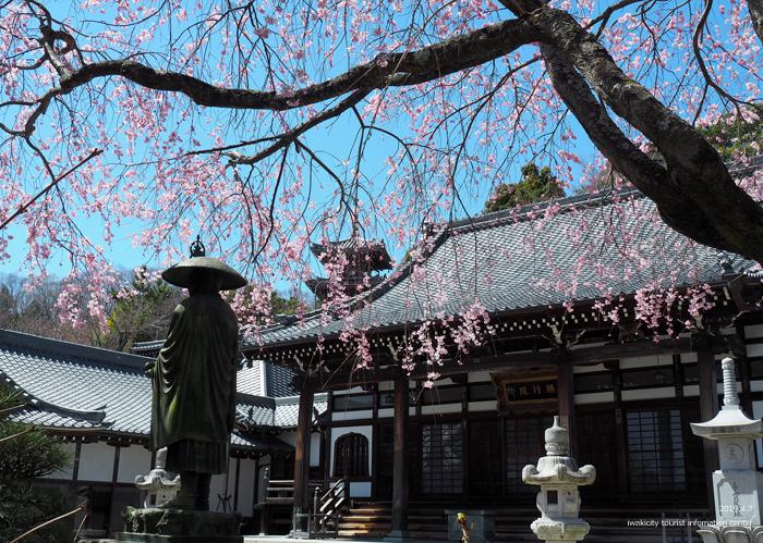 《いわき市桜情報2019》勝行院のシダレザクラが満開です! [平成31年4月7日(日)更新]6