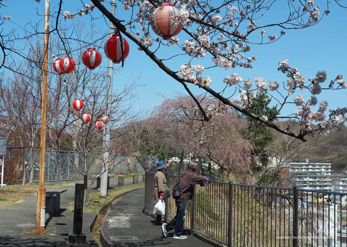 《いわき市桜情報2019》御幸山公園がほぼ満開となり見頃を迎えています! [平成31年4月7日(日)更新]6