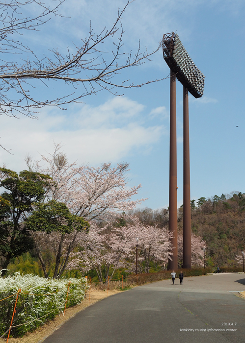 《いわき市桜情報2019》21世紀の森公園のソメイヨシノが見頃となりました! [平成31年4月7日(日)更新]6
