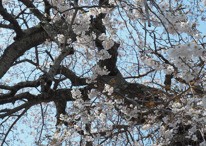 《いわき市桜情報2019》大運寺のシダレザクラが見頃! [平成31年4月7日(日)更新]6