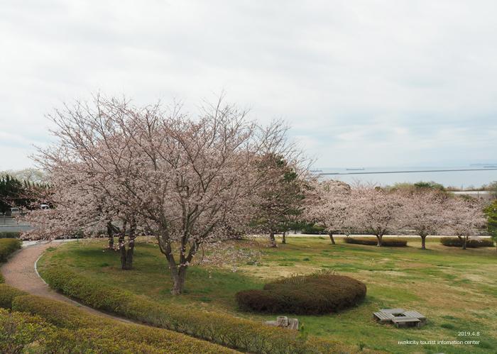《いわき市桜情報2019》三崎公園でお花見を楽しましょう♪ [平成31年4月8日(日)更新]6