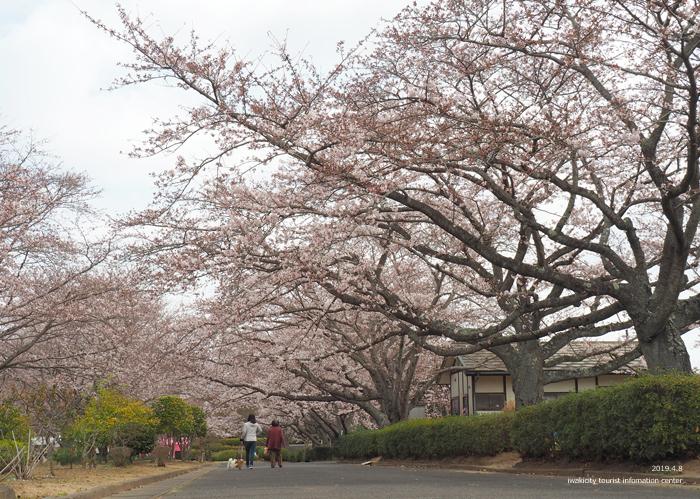 《いわき市桜情報2019》大畑公園のソメイヨシノが満開となりました! [平成31年4月8日(日)更新]6