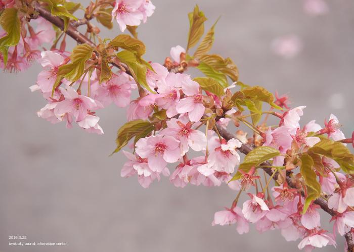 《いわき市桜情報2019》21世紀の森公園の河津桜が見頃を迎えています! [平成31年3月25日(月)更新]7