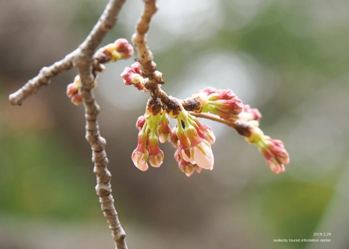 《いわき市桜情報2019》平中央公園&新川沿いのソメイヨシノが開花しました! [平成31年3月29日(金)更新]7