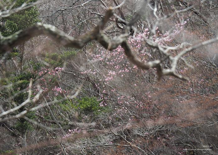 夏井川渓谷のアカヤシオが開花しました! [平成31年4月1日(月)更新]7