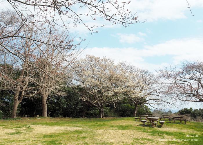 《いわき市桜情報2019》三崎公園のソメイヨシノ(咲き始め) [平成31年4月1日(月)更新]7
