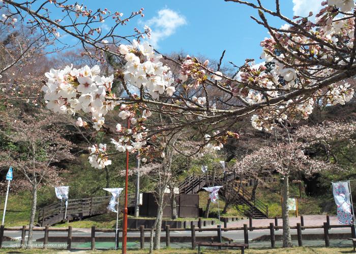 《いわき市桜情報2019》松ヶ岡公園のソメイヨシノ(2分咲き) [平成31年4月3日(水)更新]7