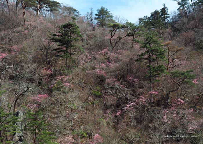 夏井川渓谷のアカヤシオ 春の陽射しを浴び見頃を迎えております! [平成31年4月6日(土)更新]7