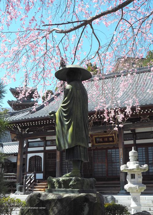 《いわき市桜情報2019》勝行院のシダレザクラが満開です! [平成31年4月7日(日)更新]7
