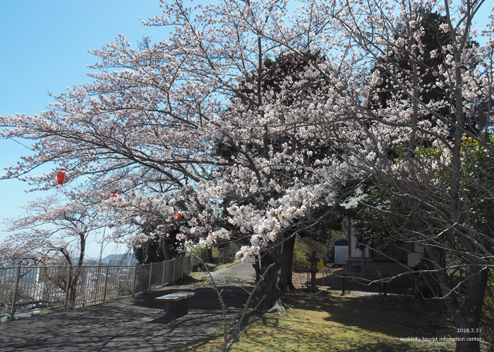 《いわき市桜情報2019》御幸山公園がほぼ満開となり見頃を迎えています! [平成31年4月7日(日)更新]7
