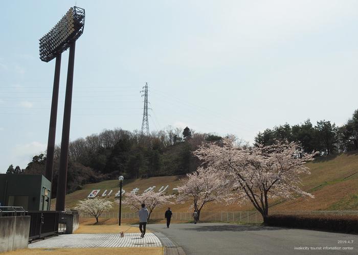 《いわき市桜情報2019》21世紀の森公園のソメイヨシノが見頃となりました! [平成31年4月7日(日)更新]7
