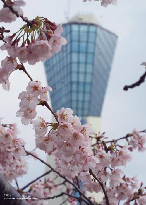《いわき市桜情報2019》三崎公園でお花見を楽しましょう♪ [平成31年4月8日(日)更新]7