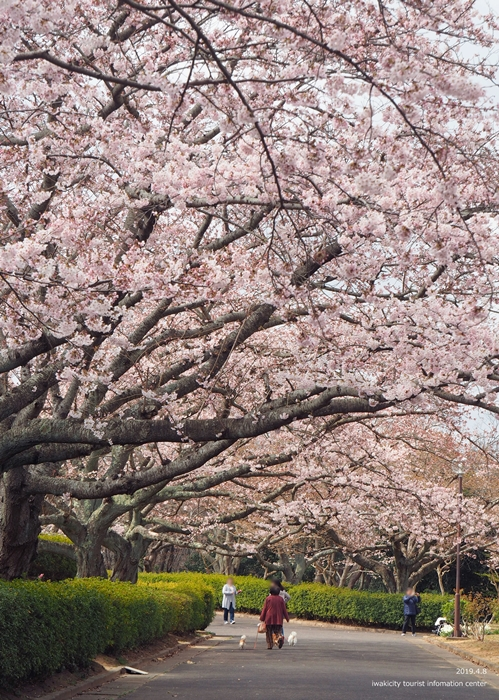 《いわき市桜情報2019》大畑公園のソメイヨシノが満開となりました! [平成31年4月8日(日)更新]7