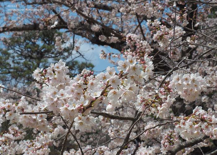 《いわき市桜情報2019》平中央公園で満開の桜を楽しみましょう♪ [平成31年4月8日(月)更新]7