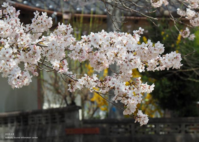 《いわき市桜情報2019》薬王寺参道のソメイヨシノ [平成31年4月8日(月)更新]7