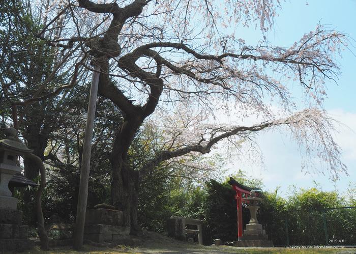 《いわき市桜情報2019》平幕ノ内 稲荷神社のシダレザクラ [平成31年4月8日(月)更新]7