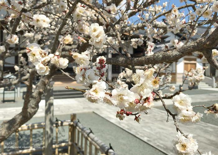 常勝院岩城寺の「八房の梅」が満開です! [平成31年3月25日(月)更新]8