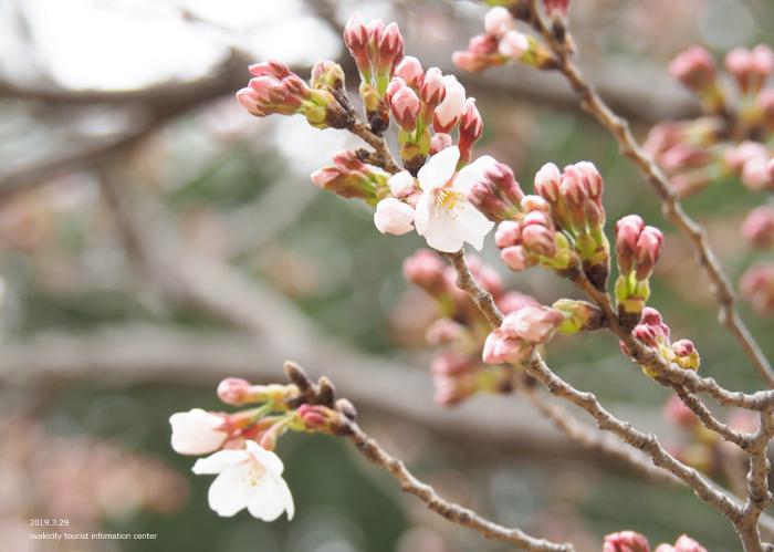 《いわき市桜情報2019》平中央公園&新川沿いのソメイヨシノが開花しました! [平成31年3月29日(金)更新]8