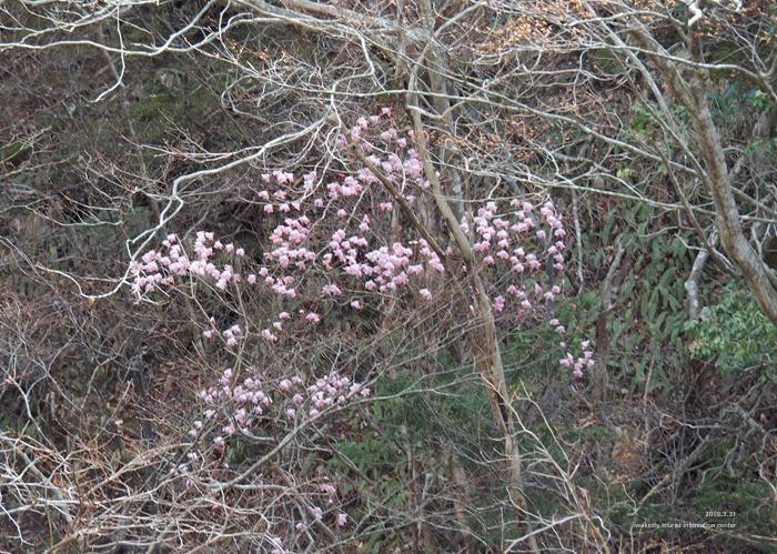 夏井川渓谷のアカヤシオが開花しました! [平成31年4月1日(月)更新]8