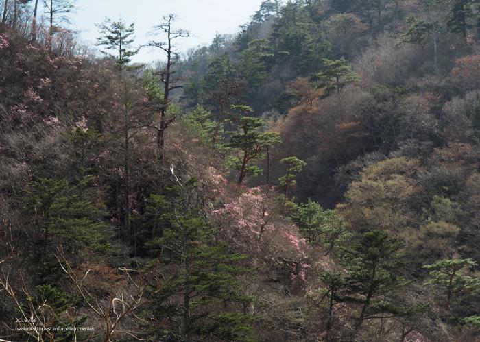 夏井川渓谷のアカヤシオ 春の陽射しを浴び見頃を迎えております! [平成31年4月6日(土)更新]8