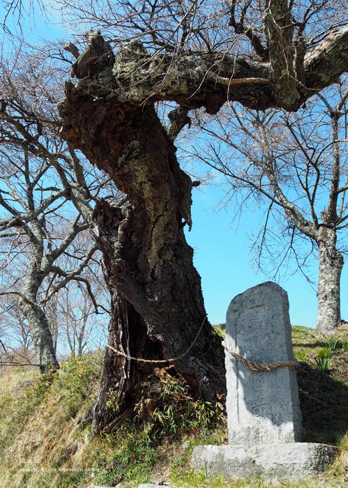 《いわき市桜情報2019》下三坂の種まきザクラが開花までもう間もなくです! [平成30年4月8日(日)更新]8