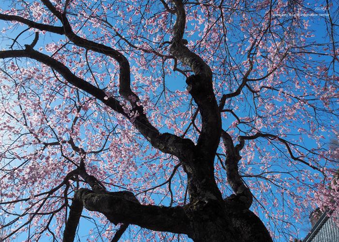 《いわき市桜情報2019》勝行院のシダレザクラが満開です! [平成31年4月7日(日)更新]8