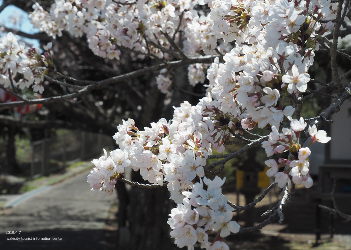 《いわき市桜情報2019》御幸山公園がほぼ満開となり見頃を迎えています! [平成31年4月7日(日)更新]8