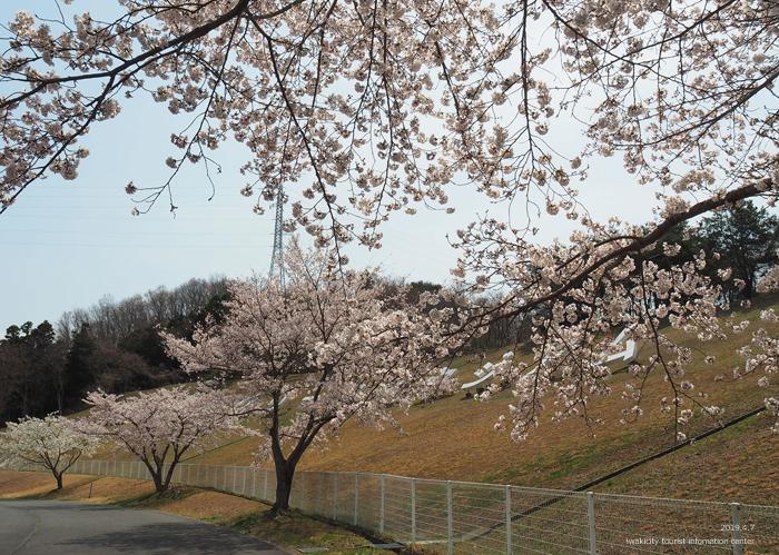 《いわき市桜情報2019》21世紀の森公園のソメイヨシノが見頃となりました! [平成31年4月7日(日)更新]8