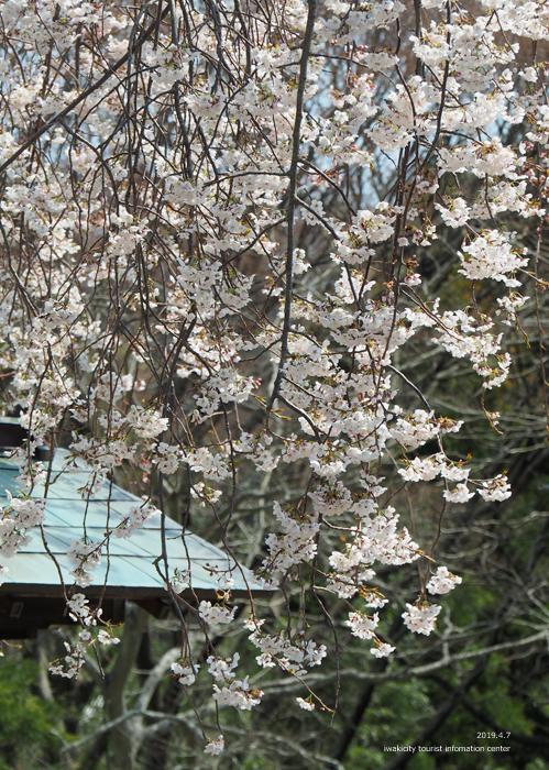 《いわき市桜情報2019》大運寺のシダレザクラが見頃! [平成31年4月7日(日)更新]8