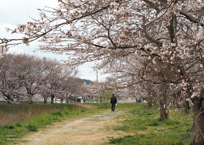 《いわき市桜情報2019》鹿島千本桜がほぼ満開となっています! [平成31年4月8日(日)更新]8