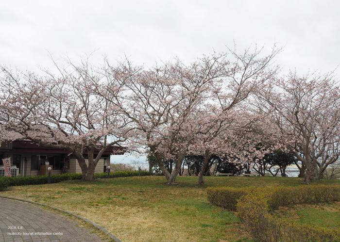 《いわき市桜情報2019》三崎公園でお花見を楽しましょう♪ [平成31年4月8日(日)更新]8
