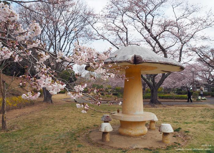 《いわき市桜情報2019》大畑公園のソメイヨシノが満開となりました! [平成31年4月8日(日)更新]8