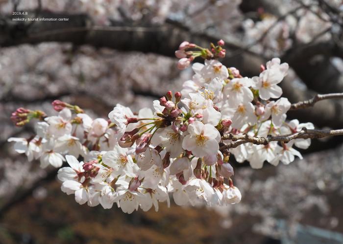 《いわき市桜情報2019》平中央公園で満開の桜を楽しみましょう♪ [平成31年4月8日(月)更新]8