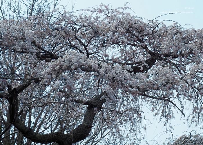 《いわき市桜情報2019》平幕ノ内 稲荷神社のシダレザクラ [平成31年4月8日(月)更新]8