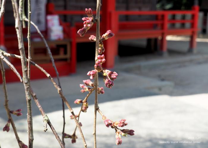 《いわき市桜情報2019》小川諏訪神社のシダレザクラ 開花までカウントダウン! [平成31年3月24日(日)更新]8