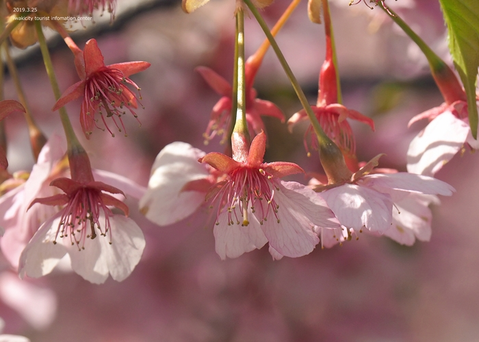 《いわき市桜情報2019》21世紀の森公園の河津桜が見頃を迎えています! [平成31年3月25日(月)更新]8