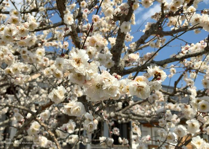 常勝院岩城寺の「八房の梅」が満開です! [平成31年3月25日(月)更新]9