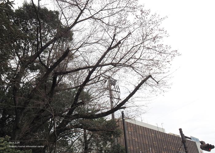 《いわき市桜情報2019》平中央公園&新川沿いのソメイヨシノが開花しました! [平成31年3月29日(金)更新]9