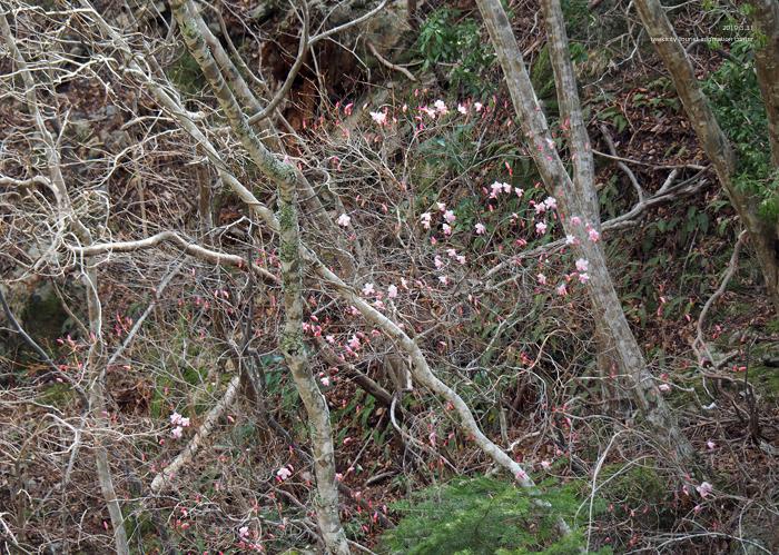夏井川渓谷のアカヤシオが開花しました! [平成31年4月1日(月)更新]9