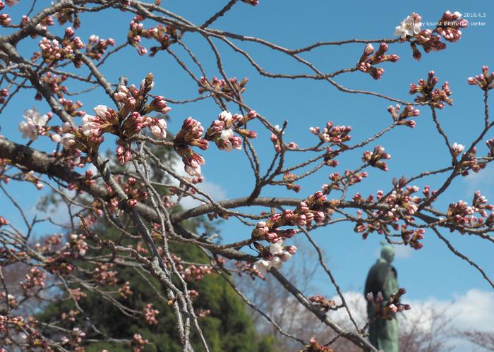 《いわき市桜情報2019》松ヶ岡公園のソメイヨシノ(2分咲き) [平成31年4月3日(水)更新]9