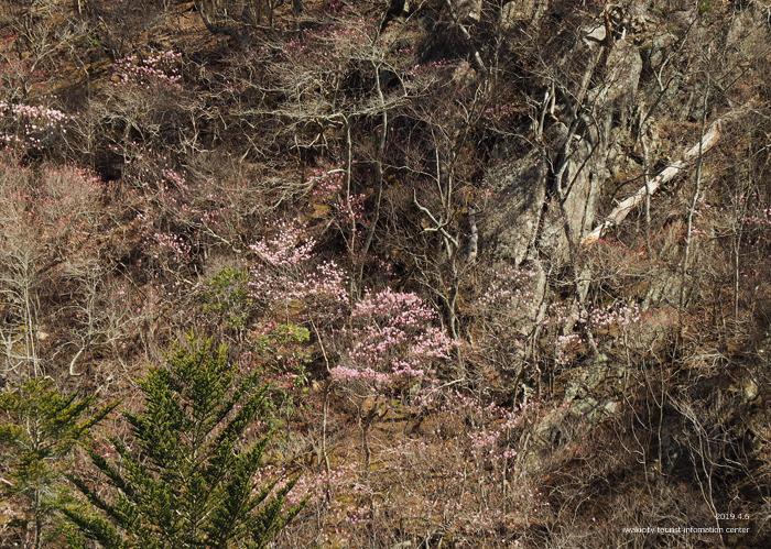 夏井川渓谷のアカヤシオ 春の陽射しを浴び見頃を迎えております! [平成31年4月6日(土)更新]9