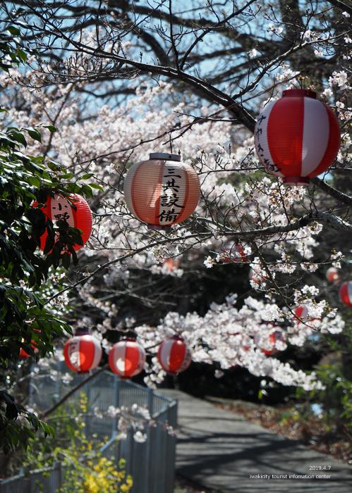 《いわき市桜情報2019》御幸山公園がほぼ満開となり見頃を迎えています! [平成31年4月7日(日)更新]9